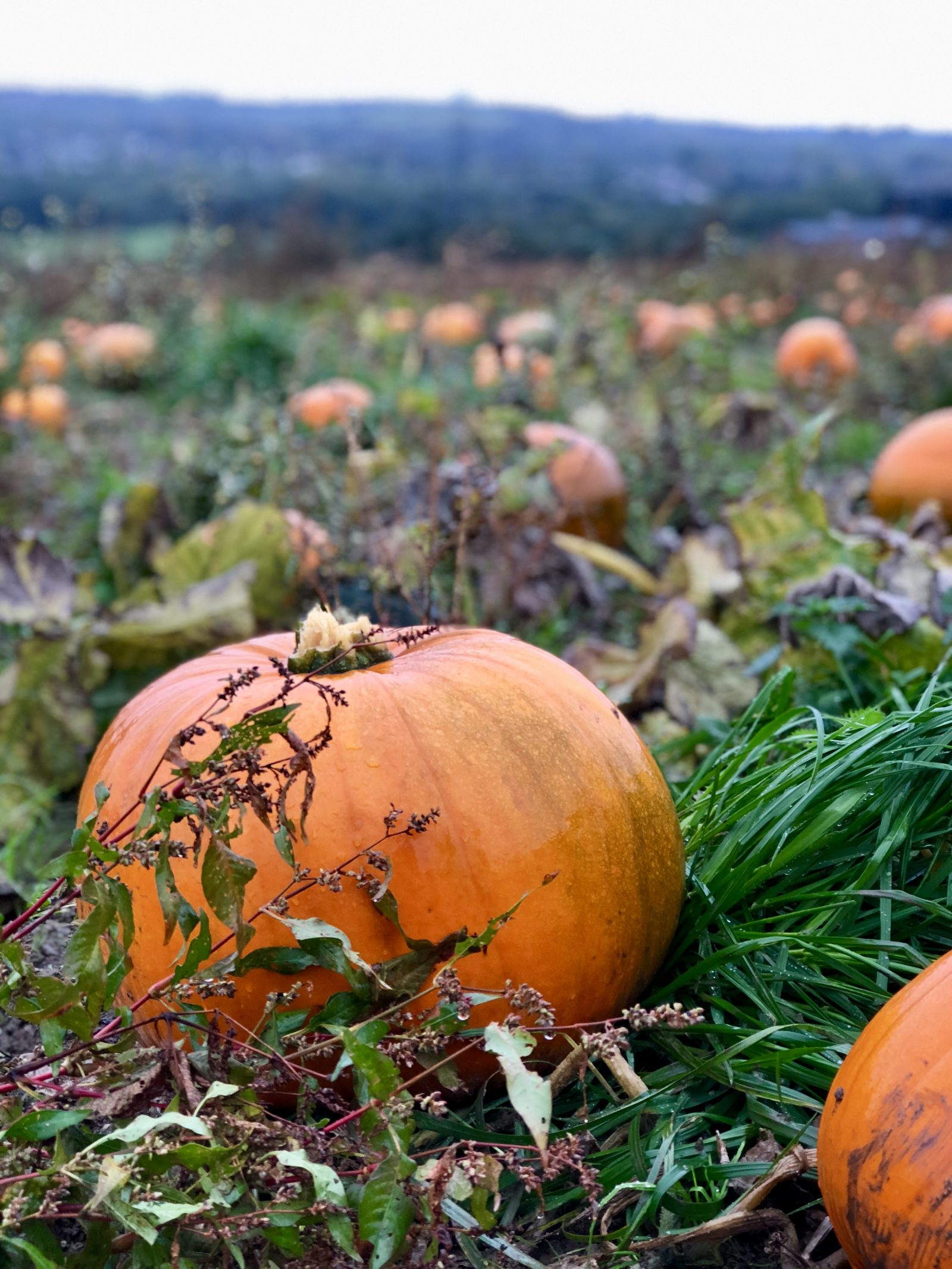 Pumpkin Picking, pumpkin patch, pumpkins, day in the Life, Penyfodau Fawr Farm, pick your own, memories, days out, family days out, south wales, Swansea, dear diary, autumn,